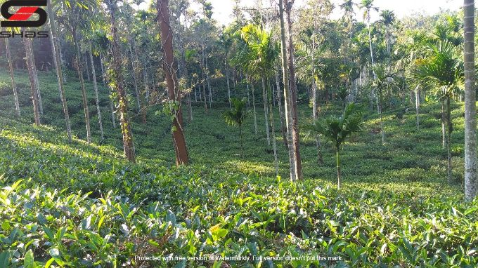 3 acre coffee plantation for sale in Sulthan Bathery, Wayanad Property Dealers
